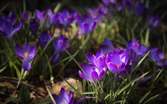 _MG_3934Purple crocus in shade.jpg by WPC-187