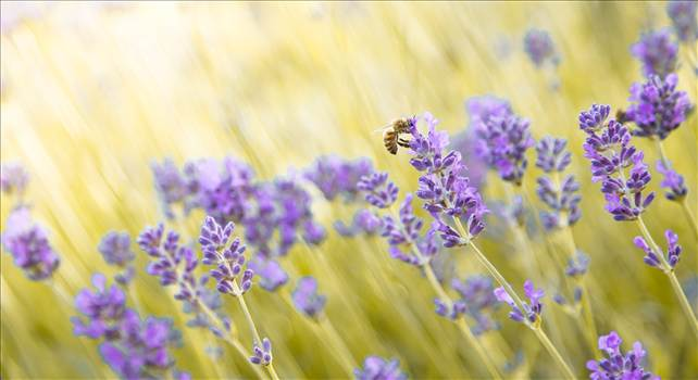 Honey bee and lavender.jpg by WPC-187