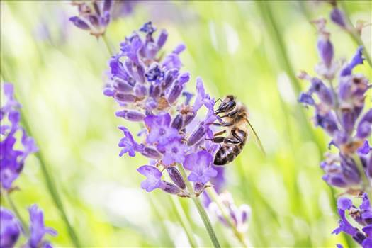 _MG_6398bee and lavender.jpg by WPC-187