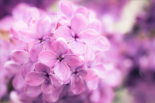 _MG_5561Lilac.jpg - undefined