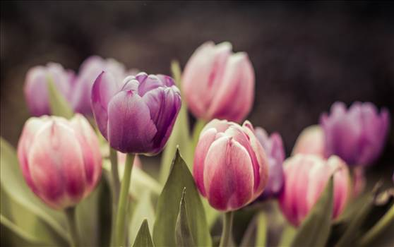Tulips.jpg by WPC-187