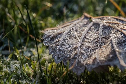 Frosty leaf-8455.jpg by WPC-187