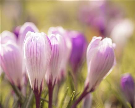_MG_3534Winter crocuses.jpg by WPC-187