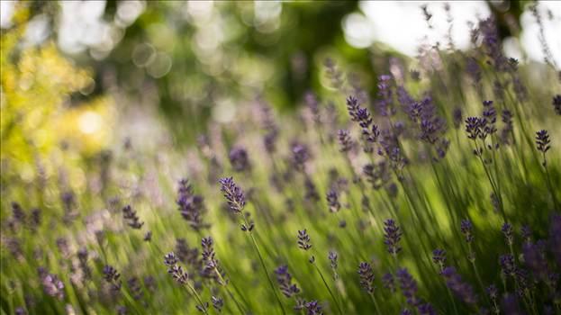 Lavender 3.jpg by WPC-187