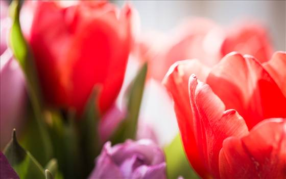 soft and gentle tulips.jpg by WPC-187