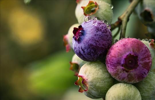 Blueberries.jpg by WPC-187