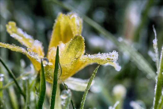 _MG_4189_HDRFrosty dandelion.jpg - undefined