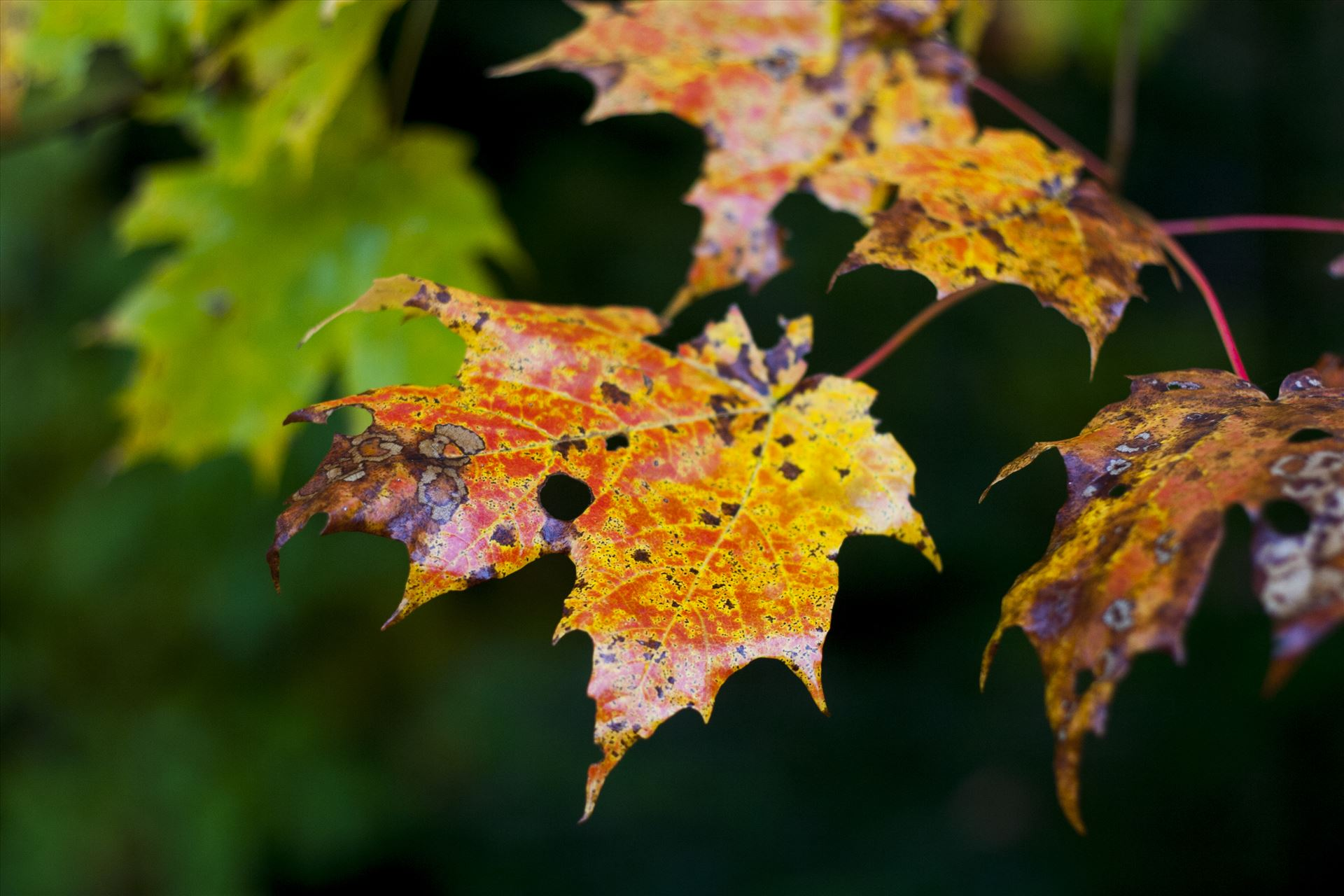 Colors of nature Colorful maple leaves by Inna Ricardo-Lax Photography