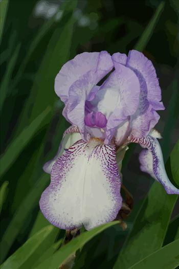 Purple Iris original.png by James