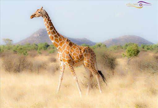 African Giraffe-1.jpg by Jay Goldberg Photography