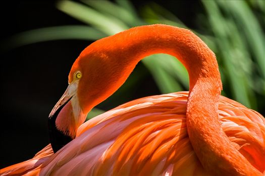 African Flamingo-1.jpg by Jay Goldberg Photography