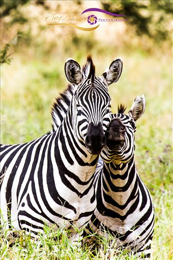 Baby Zebra and Mom-1.jpg by Jay Goldberg Photography