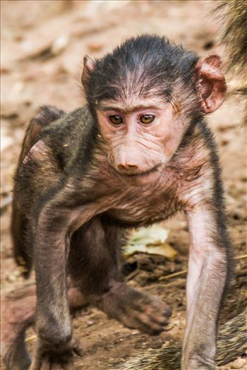 JGP Web Baby Baboon-1.jpg by Jay Goldberg Photography