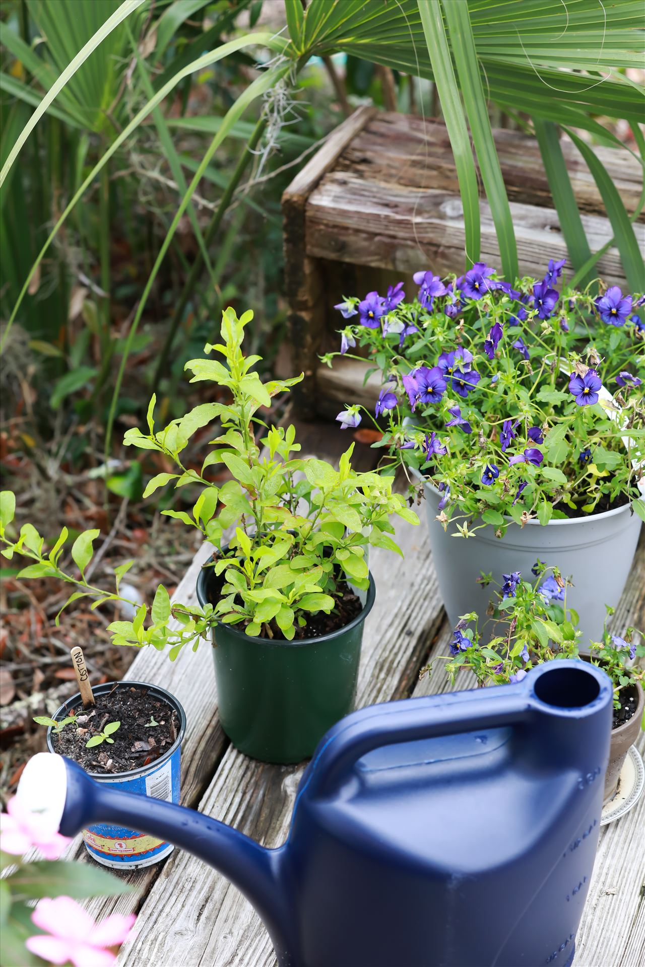 Around the Garden-7.jpg Violas and watering can with a plumbago and cotton plant! by Cat Cornish Photography