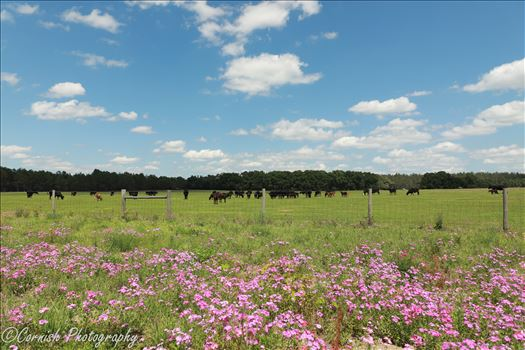 Spring Cows-4.jpg by Cat Cornish Photography