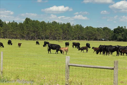 Spring Cows-6.jpg by Cat Cornish Photography