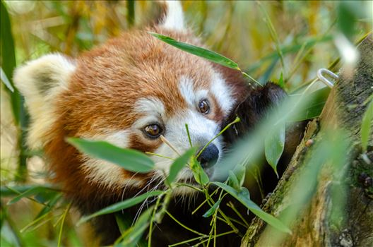 Panda - A photograph of a Red Panda in the lower branches of a tree.