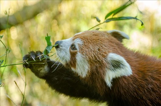 Red Panda by Bryans Photos