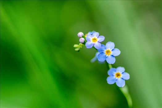 Forget Me Not by Bryans Photos
