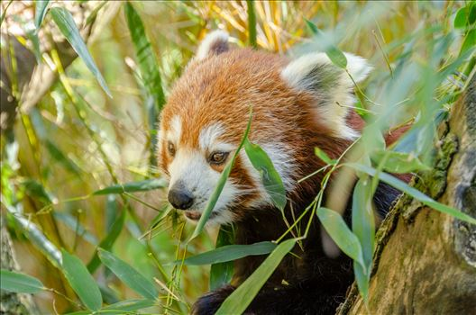 Wild Red Panda by Bryans Photos