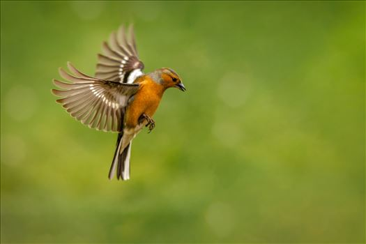 Flight of the Chaffinch - A photograph of a male Chaffinch taken mid flight.