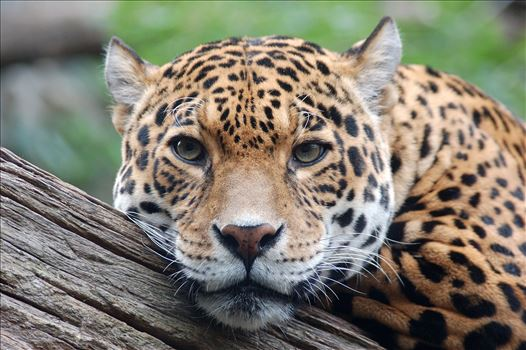 Jaguar stare by Bryans Photos