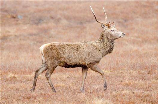 Lone Deer by Bryans Photos