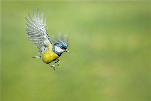 Blue Tit Landing by Bryans Photos