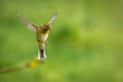 Female Chaffinch - A photograph of a female Chaffinch coming in to land.