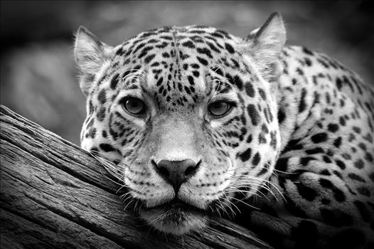 Jaguar Stare Black & White by Bryans Photos