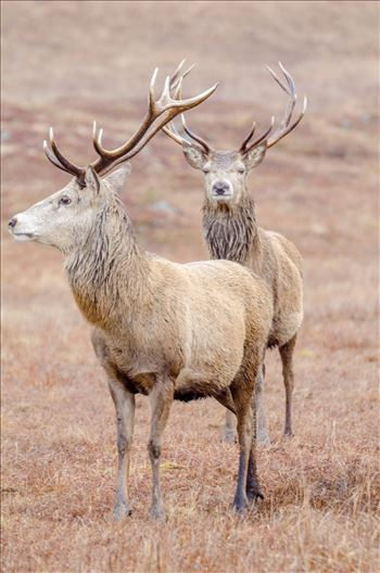 Stags - A photographs of two Stags in Glen Lyon.