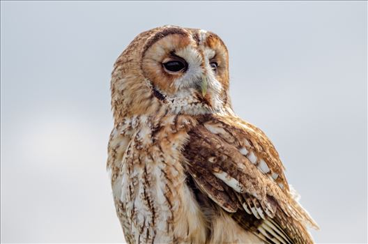 Tawny Owl by Bryans Photos