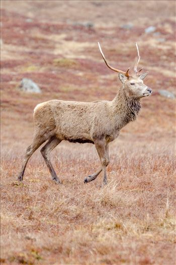 Glen Lyon Deer - A photograph of a lone Stag taken in Glen Lyon in the Scottish Highlands.