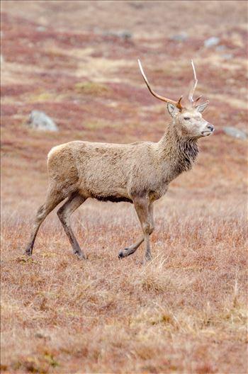Glen Lyon Deer by Bryans Photos
