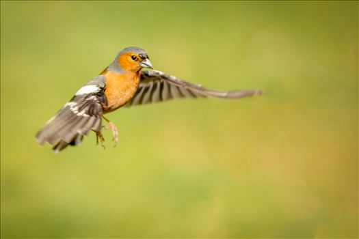 Male Chaffinch - A photograph of a male Chaffinch taken mid flight.
