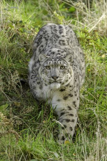 Snow Leopard Stare - A photograph of a snow leopard staring straight at me as it approached from the hill above.