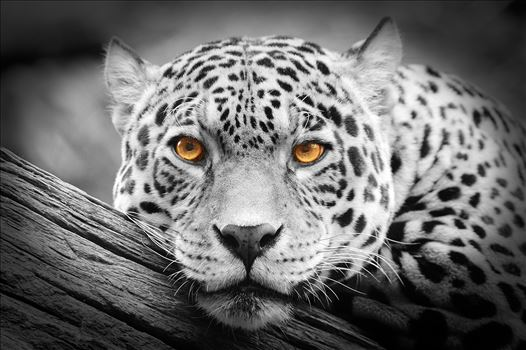Jaguar Stare isolations by Bryans Photos