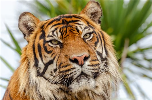 Sumatran Tiger by Bryans Photos