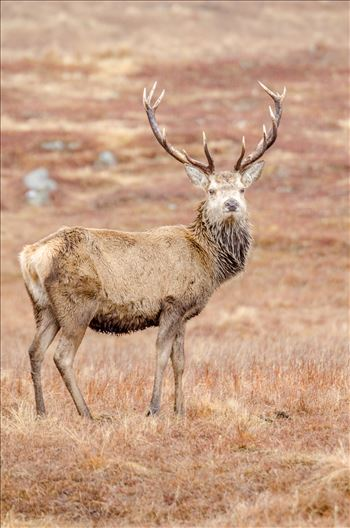 Highland Deer - A photograph of a lone Stag taken in Glen Lyon in the Scottish Highlands.