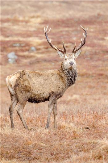 Highland Deer by Bryans Photos