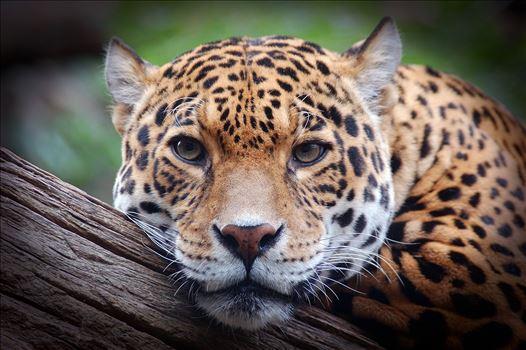 Jaguar Stare 2 - Photograph of a Jaguar staring straight at me.