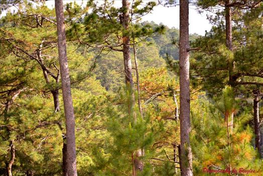 The trees of Sagada by Bingles