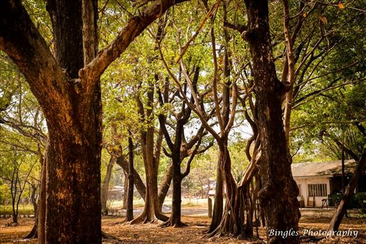 The tree at Ninoy Aquino Parks and Wildlife by Bingles