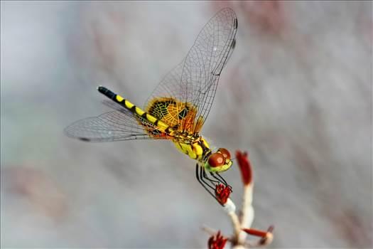 Dragon Fly at Rest.jpg by jennyellenphotography