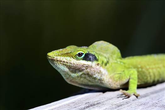 Lizard.jpg by jennyellenphotography