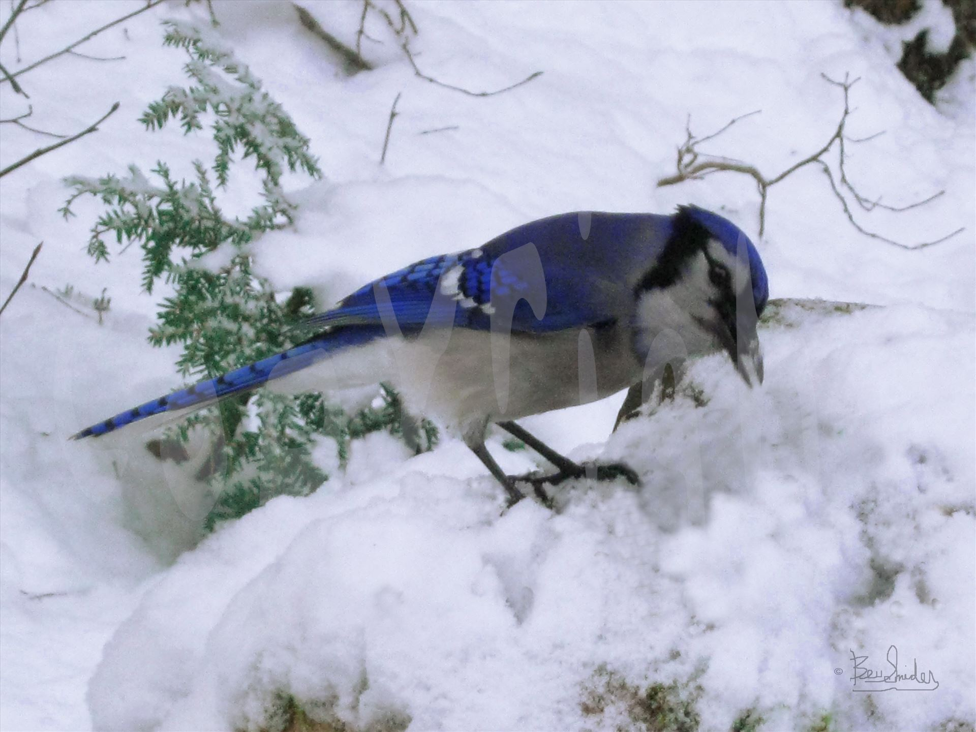 Blue Jay Wild  1398 A vividly colored wild blue jay in winter snow by Snookies Place of Wildlife and Nature