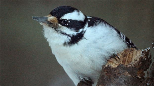 Female Hairy Woodpecker 7312 by Snookies Place of Wildlife and Nature
