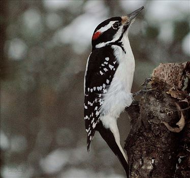Male Hairy Woodpecker 4440 by Snookies Place of Wildlife and Nature