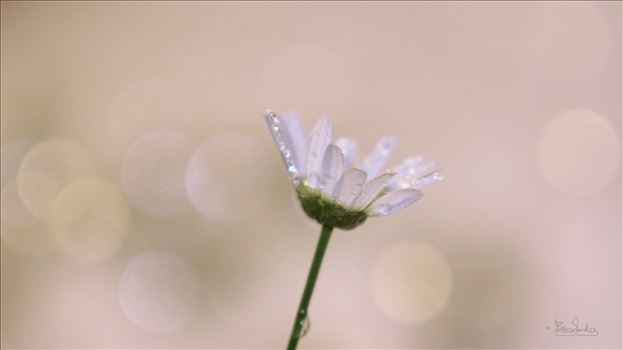 Single White Daisy 8903jpeglg.jpg by Snookies Place of Wildlife and Nature