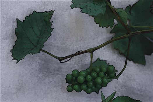Grapes and Vine 0605 - A bunch of green grapes and part of a grapevine